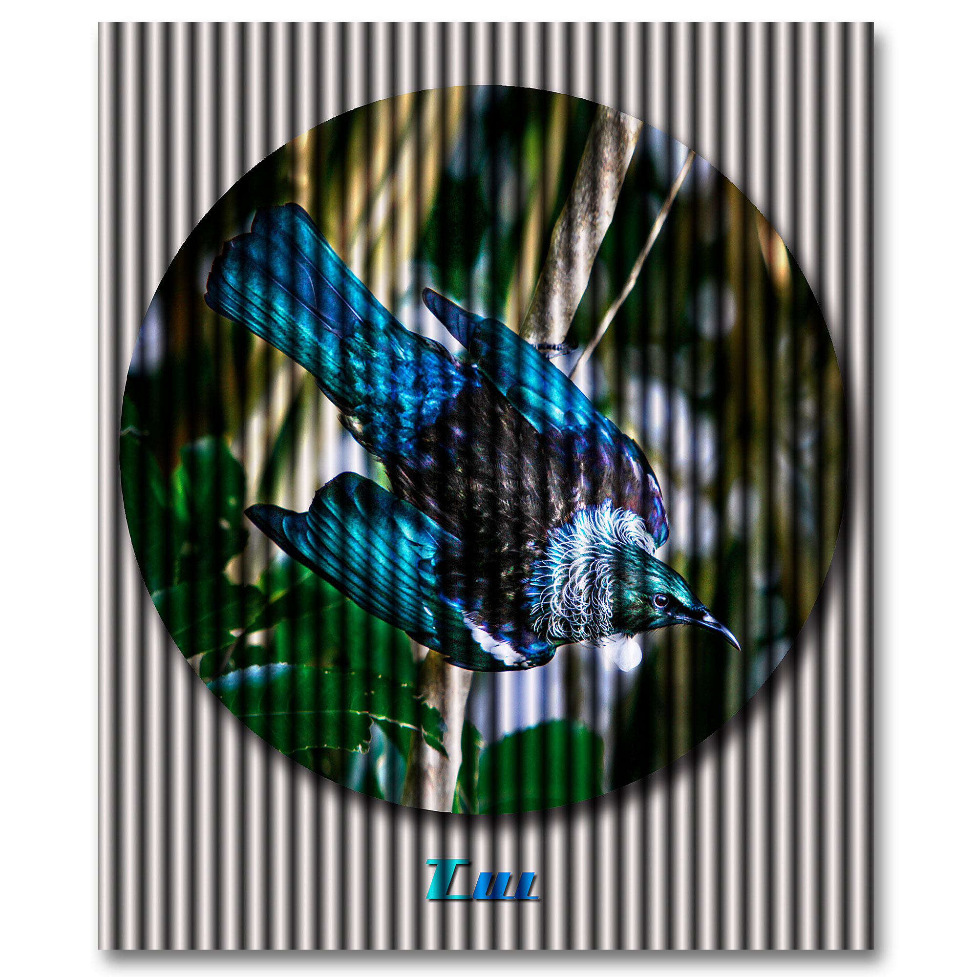 The New Zealand Tui, vibrant, intelligent, alert and with purpose. Art by ian anderson.