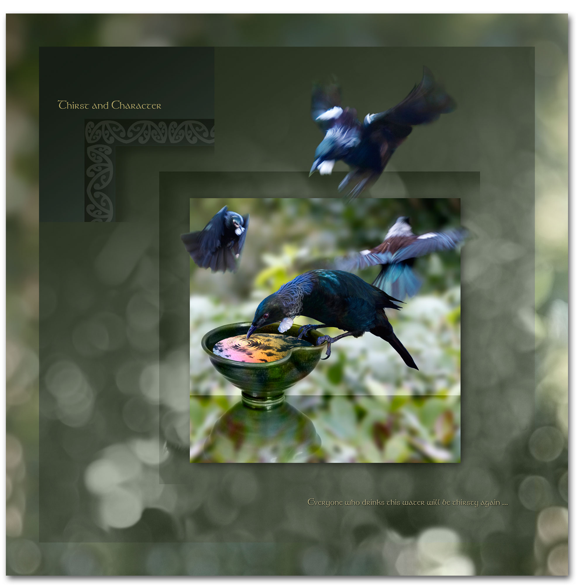 Tui in flight and finding food. An artificial sugared water replacing nectar.